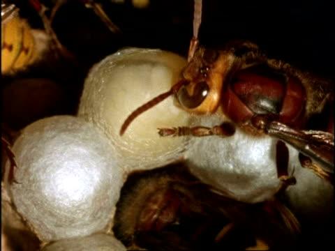 vidéos et rushes de bcu nurse-hornet (vespa crabro) feeding larva, larva building silk cocoon, england - vespa