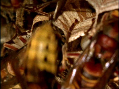 vidéos et rushes de bcu nurse-hornets (vespa crabro) tending to larvae within nest cells, england - vespa