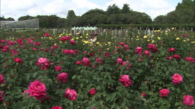 nursery workers prune autumn roses. - gewächshäuser stock-videos und b-roll-filmmaterial