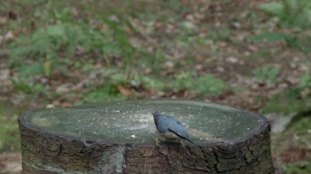 Nuthatch on a tree stump in Scottish woodland