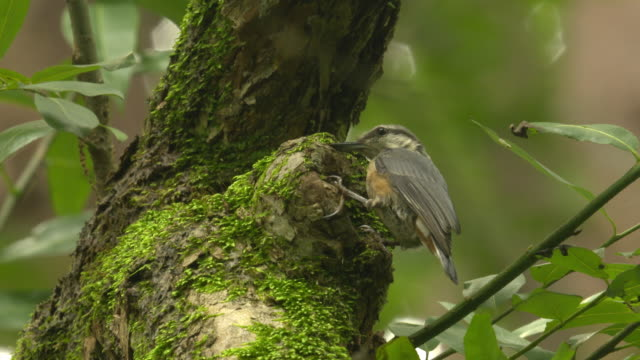 nuthatch searching its nest / sotae-myeon, chungju-si, chungcheongbuk-do, south korea - nest stock-videos und b-roll-filmmaterial