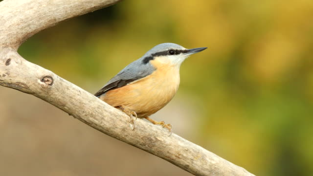 nuthatch (sitta europaea) - songbird stock videos & royalty-free footage