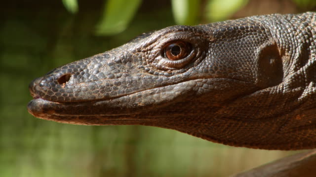 nutphand's black water monitor,lizard - claw stock videos & royalty-free footage