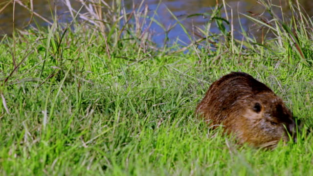 Nutria eating grass near the river