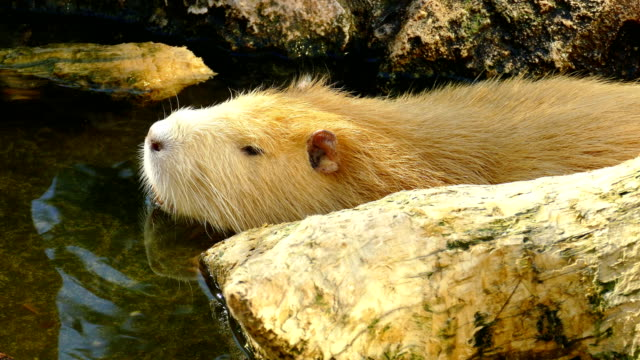 stockvideo's en b-roll-footage met nutria in de vijver - animal hair