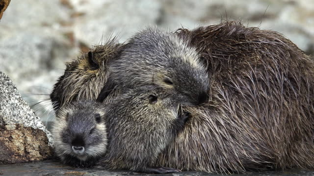 """nutria, myocastor coypus, mother and youngs, pyrenees in the south west of france, real time"" - cinque animali video stock e b–roll"