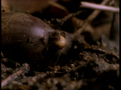 t/l - cu oak acorn germinating, natural background - seed stock videos & royalty-free footage