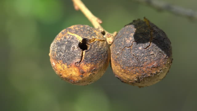oak apple or oak gall cloeup - oak stock videos and b-roll footage