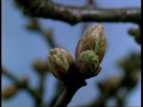 vidéos et rushes de t/l - cu oak flower bud bursts, blue background - bouton de fleur