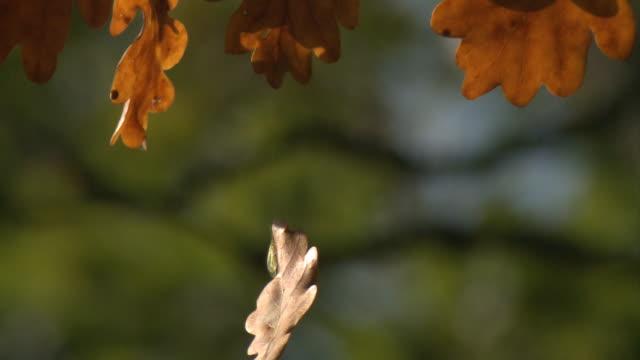 oak forest in autumn - oak tree stock videos and b-roll footage