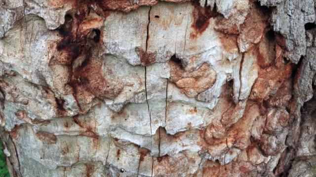 vidéos et rushes de oak forest, springtime, montaña oriental costera, cantabria, spain, europe - tronc d'arbre