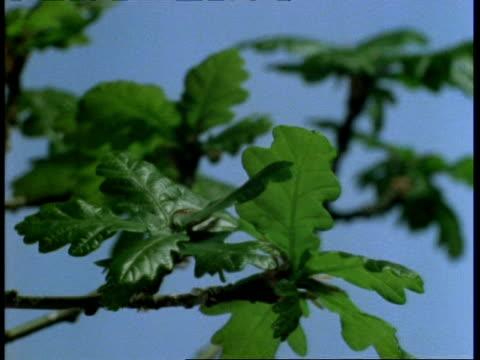 t/l - cu oak leaf burst and growth, blue background - fotosintesi video stock e b–roll
