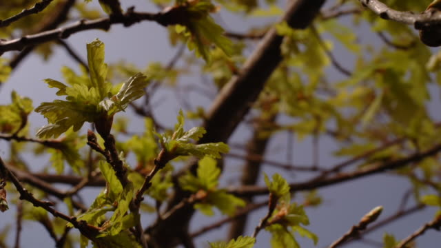 oak leaves bud and grow on a tree. available in hd. - oak tree stock videos & royalty-free footage