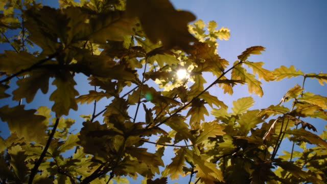 oak leaves flex beneath a sunny blue sky to maximise the light they receive. available in hd. - fotosintesi video stock e b–roll