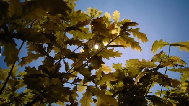 oak leaves flex beneath a sunny blue sky to receive the maximum amount of light. available in hd. - fotosintesi video stock e b–roll