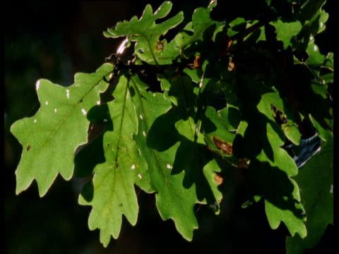 stockvideo's en b-roll-footage met oak leaves in breeze, forest of dean, uk - plant attribute