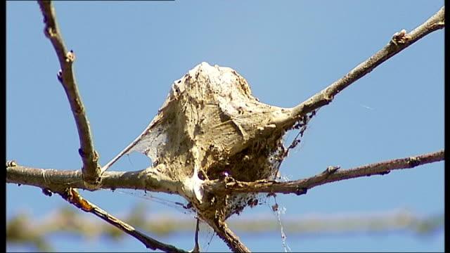 oak processionary moth infestation england london ext various of oak processionary moth caterpillars infesting tree oak processionary moth... - infestation stock-videos und b-roll-filmmaterial