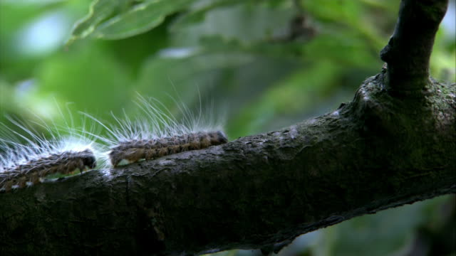 oak processionary moths - oak stock videos and b-roll footage