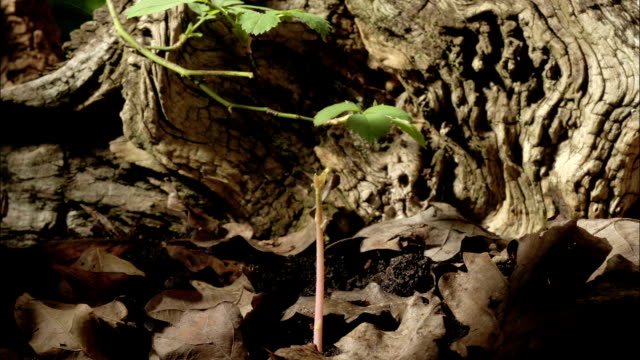 """oak seedling growing, timelapse"" - single object stock videos & royalty-free footage"