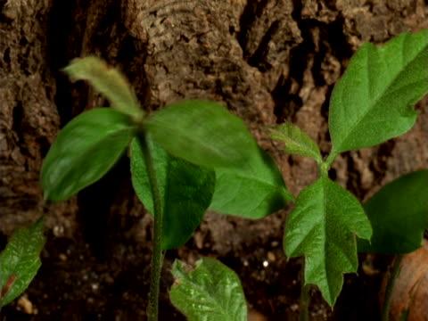 oak seedlings growing - artbeats bildbanksvideor och videomaterial från bakom kulisserna