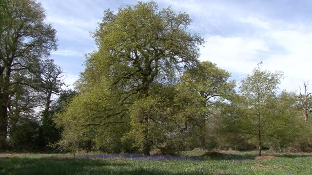 Oak Tree & Bluebells