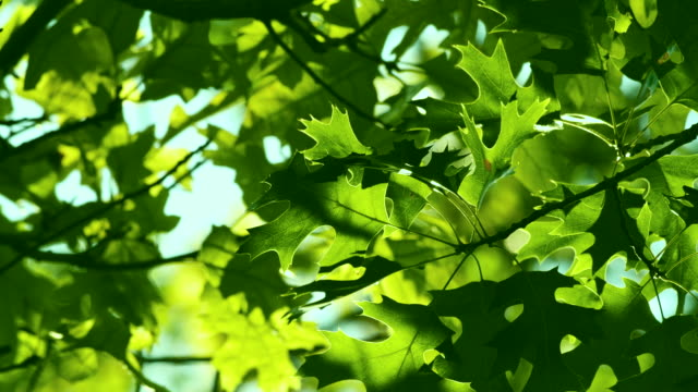 oak tree. green leafs on the wind. beautiful abstract summer background. - oak tree stock videos & royalty-free footage