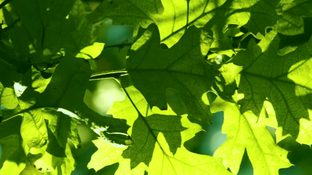 oak tree. green leafs on the wind. close-up. - oak tree stock videos & royalty-free footage