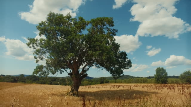 oak tree in a summer countryside landscape in italy - oak stock videos and b-roll footage