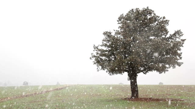 Oak Tree in Blizzard