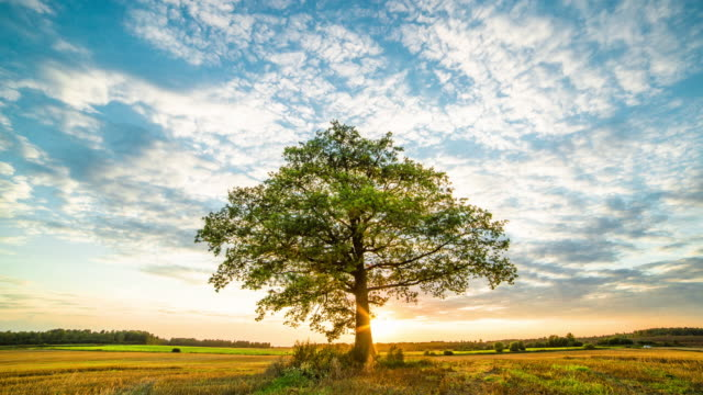 stockvideo's en b-roll-footage met oak tree in field - seizoen