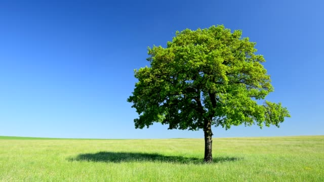 oak tree in meadow, hesse, germany - oak tree stock videos & royalty-free footage