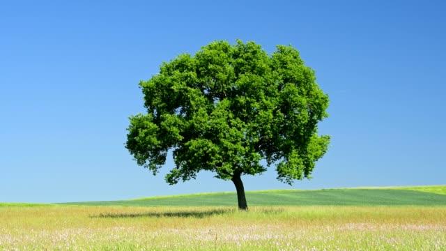 oak tree in meadow, hesse, germany - single tree stock videos & royalty-free footage