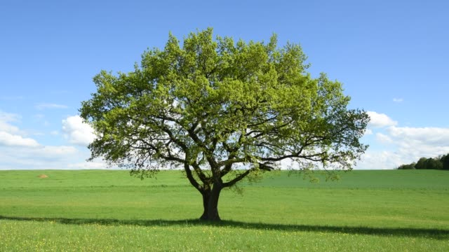 oak tree in meadow in spring, vogelsberg district, hesse, germany - oak tree stock videos & royalty-free footage
