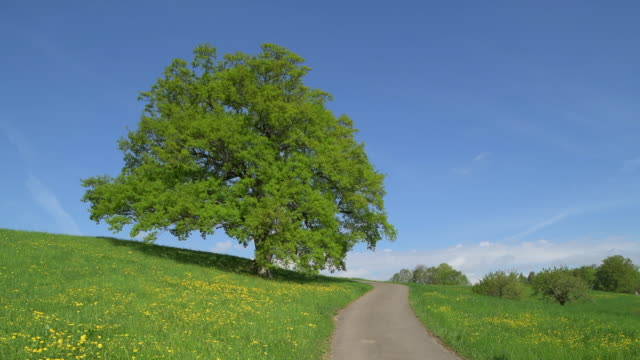 Oak tree in meadow with rural road, springtime. Basel-Landschaft Canton, Switzerland, Europe.