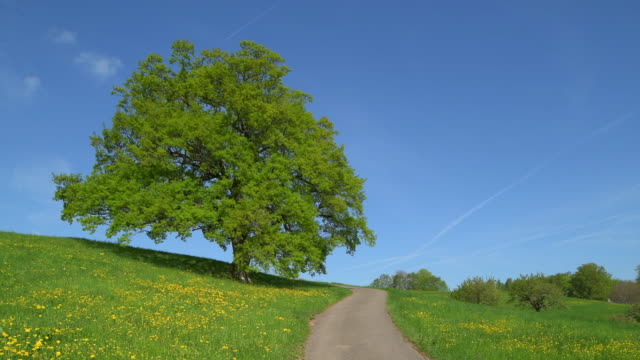 oak tree in meadow with rural road, springtime. basel-landschaft canton, switzerland, europe. - oak stock videos and b-roll footage