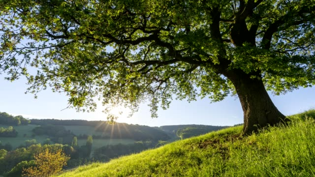 oak tree in spring at sunrise, odenwald, hesse, germany - 30 seconds or greater stock videos & royalty-free footage