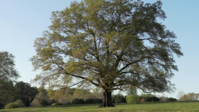 oak tree in springtime - oak tree stock videos and b-roll footage