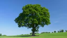 Oak Tree (Quercus robur.) in summer.