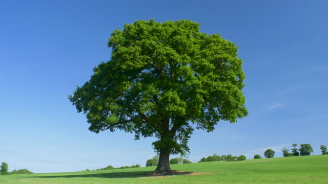 oak tree (quercus robur.) in summer. - tree stock videos & royalty-free footage