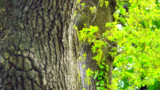 Oak tree in the forest