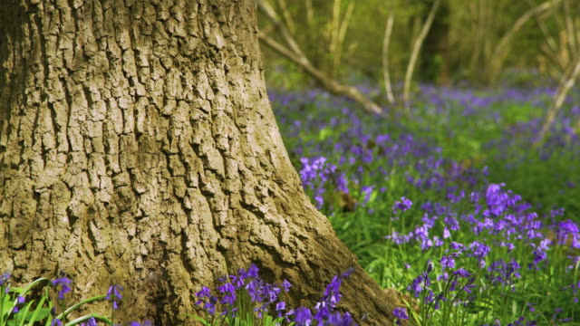 oak tree trunk amongst bluebells - natural parkland stock videos & royalty-free footage
