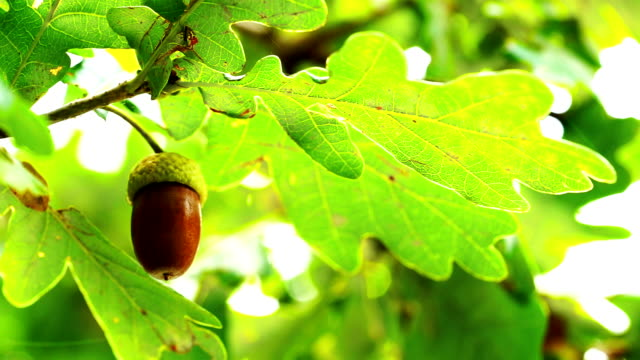 oak tree with acorn - twig stock videos & royalty-free footage