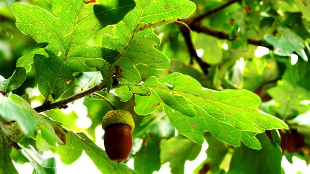 Oak tree with acorn