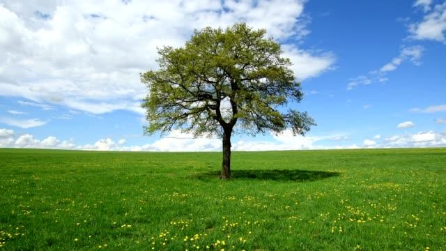 oak tree with dandelion meadow in spring, hesse, germany - single tree stock videos & royalty-free footage