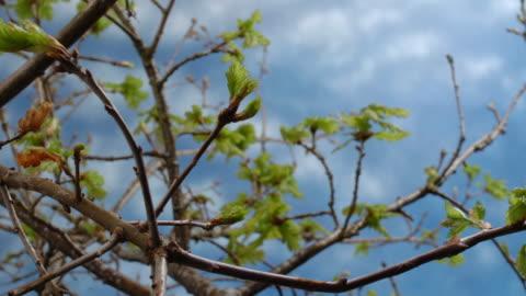 t/l oak wa bud burst, united kingdom - bud stock videos & royalty-free footage