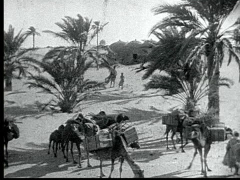 1925 B/W MONTAGE Oasis in Sahara desert, camels loaded w/ packs mill around between palm trees. Two young camels play while Berber Bedouin stands by / Nefta, Tunisia