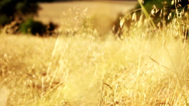 vídeos de stock e filmes b-roll de campo de aveia - agrafo