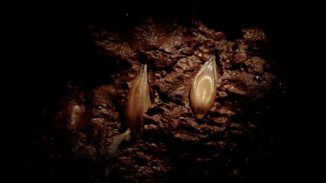 """vídeos y material grabado en eventos de stock de """"oat germination, timelapse"""" - semilla"""