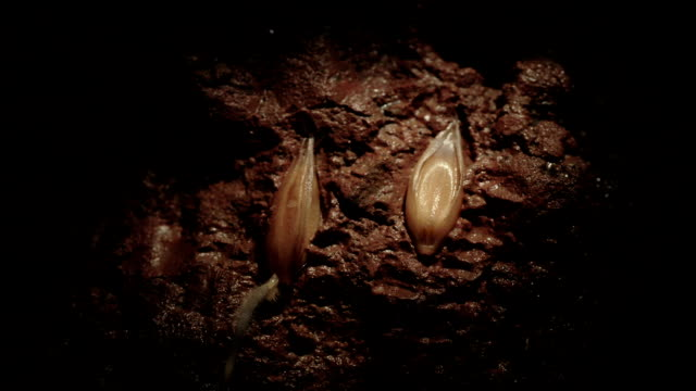 "vídeos de stock e filmes b-roll de ""oat germination, timelapse"" - seed"