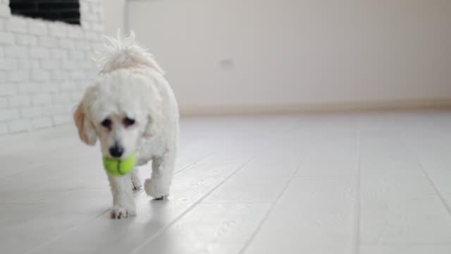 stockvideo's en b-roll-footage met gehoorzame pup, spelen met de bal - gehoorzaamheid